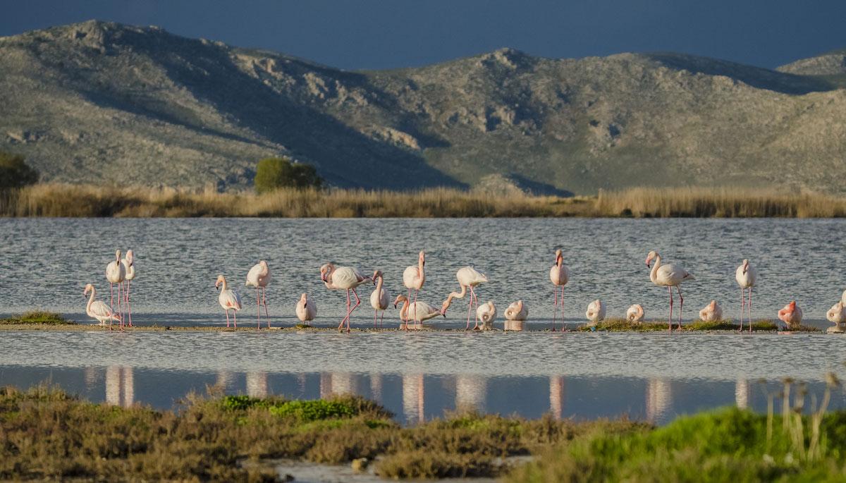 Flamingos - Kos island